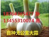 供 山东桓台自家种植大蒜 蒜苔 无公害绿色蔬菜 口感好