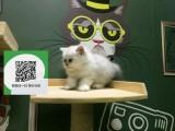 烟台哪里开猫舍卖金吉拉 去哪里可以买得到纯种金吉拉
