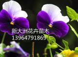 天津三色堇-有品质的三色堇,哪里有卖