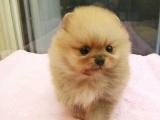 哪里能买到家养博美犬便宜的多少钱