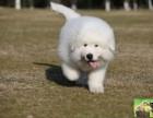 纯种大骨量大白熊幼犬 王者风范 品相纯正保证健康
