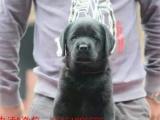 拉布拉多幼犬可以视频挑选送货到家颜色齐全保证纯种