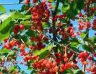 五莲县九仙百果家庭农场樱桃采摘季开始了