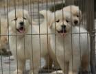 郑州买卖金毛犬在哪里 纯种金毛郑州哪里有 极品金毛多少钱