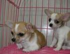 纯种吉娃娃幼犬疫苗齐全协议质保签订协议 保纯种