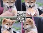 狗舍直销日本柴犬 上门多只可挑选 购宠送宠物用品一套