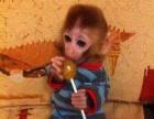 袖珍石猴,长不大宠物猴
