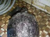 出粗颈种龟一组
