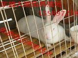 种兔场种兔多少钱一只