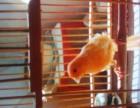 自家繁殖鹭鹭鸟