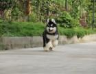 南京 阿拉斯加犬 价很合理 疫苗做好 长年营业 现场可选