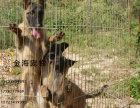宠物狗纯种马犬疫苗驱虫已做齐全包健康签协议