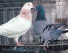 鹰潭出售鸽子 鹰潭肉鸽哪里有卖 鹰潭肉鸽养殖厂家