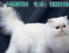 出售大眼可爱小波斯猫健康活泼聪明毛量厚的波斯猫