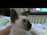 暹罗猫 小公猫 找新家