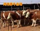 阳曲县育肥牛养殖基地/山西西门塔尔牛价格/改良牛犊
