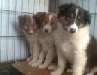 青岛本地犬舍出售纯种幼犬,苏格兰牧羊犬,血统纯正,保证健康