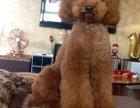 自家大狗生的一窝贵宾犬可以来家里看大狗品相