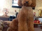 哪里有卖纯种双血统贵宾犬纯种的长什么样子