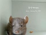 米色咖啡标灰小龙猫找新家
