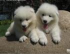 精品萨摩耶幼犬一证书齐全一血统纯正送用品签协议包活