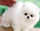 重庆哪里出售博美犬 重庆博美犬多少钱