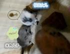 龙猫活体 弟弟妹妹粑粑麻麻们