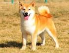 哈尔滨出售纯种日本柴犬幼犬活体宠物狗赛级中型黑