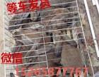 河北新西兰兔肉兔市场价格衡水杂交野兔种兔多少钱