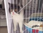 《咕噜猫舍》双血净梵带证低价出售 可上门看猫