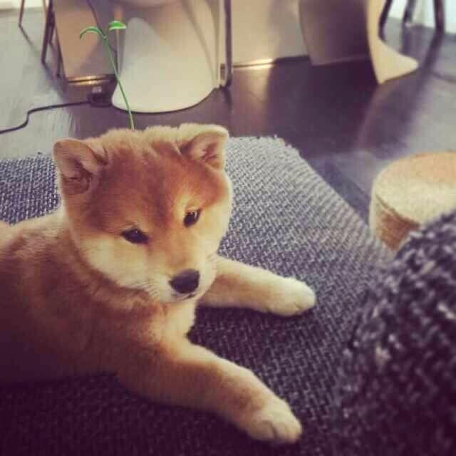 福州哪里有柴犬出售 柴犬哪里的纯种健康 日系柴犬好养吗
