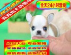 精品吉娃娃犬出售 限时不限量打折大促销 签合同