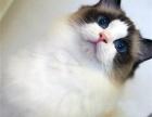 各种猫猫出售布偶 加菲 英短 美短 金吉拉