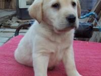 长沙养殖基地直销拉布拉多犬及其它幼犬 签协议 送用品