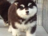 佛山纯种阿拉斯加犬幼仔怎么卖 佛山荔湾哪里有狗场