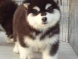 佛山健康阿拉斯加犬多少钱一只 购犬签协议 品质保障