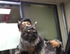 缅因库恩猫,2岁弟弟