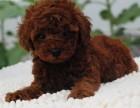 宠物公母都有泰迪宠物狗狗 金品泰迪犬魅力十足
