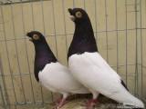 新疆系毛腿两头乌鸽子