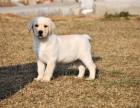 出售高品质拉布拉多幼犬 包犬瘟细小,签协议,包健康