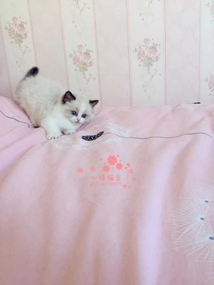 兰州哪里有卖布偶猫幼崽 兰州较便宜布偶猫多少钱一只保健康