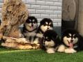 纯种阿拉斯加幼犬 保证纯种健康 终身质保 饲养指导