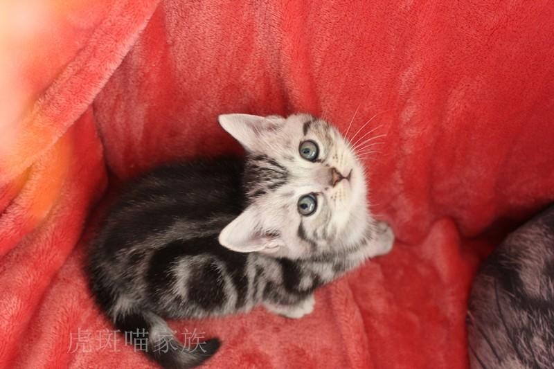 三个月虎斑宝宝寻找爱它的主人啦