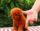 宝山区哪有泰迪犬卖 宝山区泰迪犬价格 宝山区泰迪犬多少钱