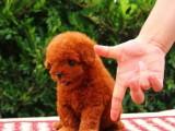 白云区哪有泰迪犬卖 白云区泰迪犬价格 白云区泰迪犬多少钱