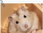 仓鼠 多种品种 视频看鼠 三亚