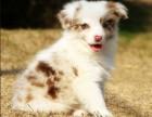 较大犬舍-直销各种名犬- 小型犬/中型犬/大型犬 -包健康