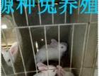 思麻兔种兔价格