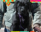 纯种拉布拉多犬品相好有多只可选 健康有保障 签购犬签协仪