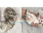 金吉拉小猫 预定啦